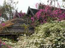 to Jpeg 62K An old teak house almost covered in bourganvillea on Doi Inthanon 3391