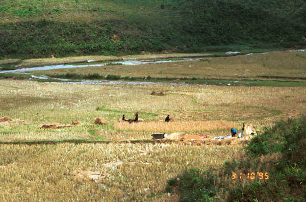 Jpeg 37K Black Hmong harvesting the rice in the fields at the bottom of a valley in the hills around Sa Pa, Lao Cai Province 9510K20.JPG