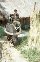 to Jpeg 36K Red Hmong boys riding a buffalo out of the village in Lai Chau province, northern Vietnam 9510g04.jpg